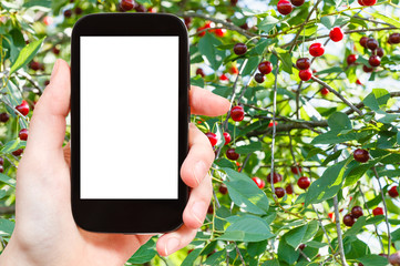 smartphone and tree with ripe cherry