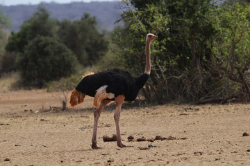 Ostrich Strutting