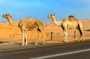 Camels walking through a desert, taken in the Liwa Oasis, Abu Dhabi area, United Arab Emirates