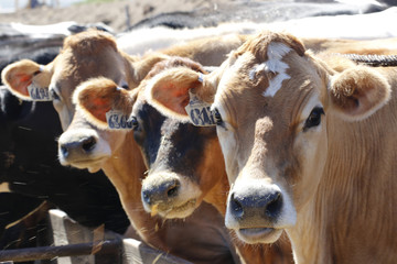 Animals: Cows looking at you and eating