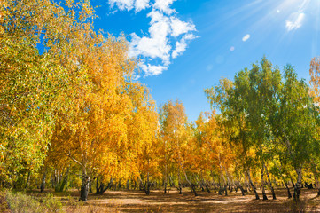 Autumn forest with yellow trees at sunny day