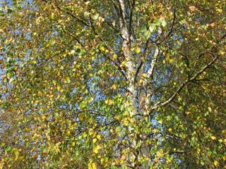 Birch tree in autumn look up.