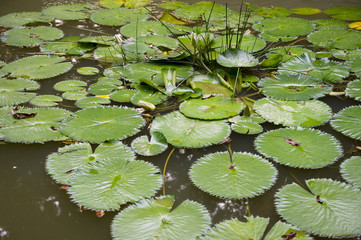 Pond covered in lotus leaf water lily pads in a Brazilian botanical garden in Rio de Janeiro Brazil
