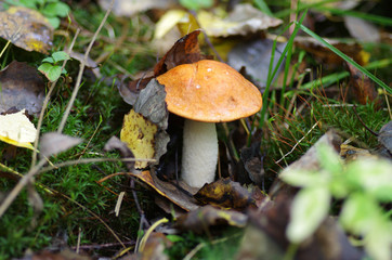 Orange-cap boletus in autumn wood