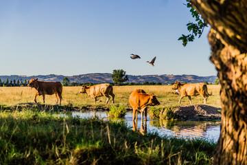 Les vaches au bord de l'étang