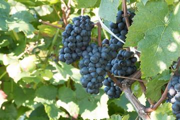 Fotoväggar - blaue Weintrauben im Weinberg