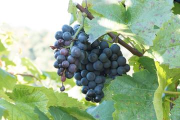 Fotoväggar - blaue Weintrauben warten auf die Ernte