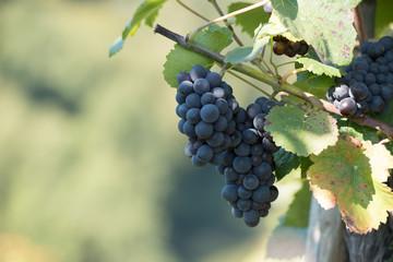 Fotoväggar - blaue Weintrauben vor weichem Hintergrund