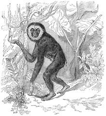 Gibbon, vintage engraving.