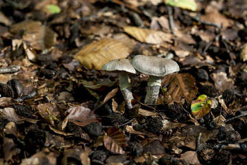 wild mushrooms growing on the autumn fallen leaves