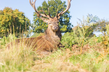 A deer relaxes lying on the grass in Richmond Park, London - Animal concept