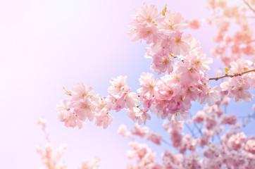 Pink flowers, blossom tree on bright, blue sky.