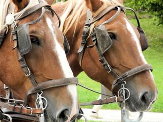zwei Pferdeköpfe Portrait