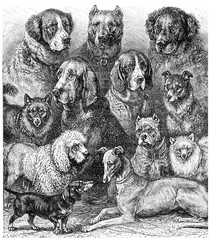 Various dogs, vintage engraving.