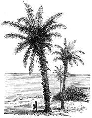 Palm avoira, vintage engraving.