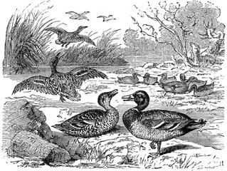 Wild ducks, vintage engraving.