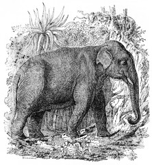 Elephant in India, vintage engraving.
