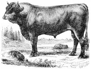 Taurus, vintage engraving.