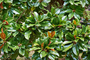 Beautiful magnolia leaves in tropical park