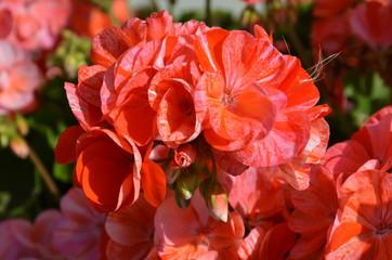 Geranien blühen rot orange