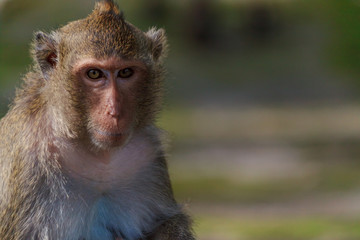 Portrait of spectacular thoughtful male monkey with blur background with copy space