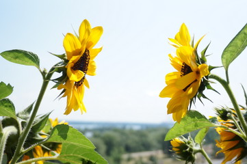 bright yellow sunflowers over blue sky