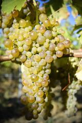 Organic Viognier Grapes
