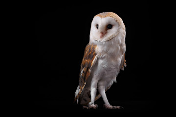 Barn Owl Tyto alba, on perch looking left. Low key studio shot Fototapete