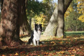 Dog breed Border Collie walking in autumn park