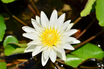 Search photos facts lotus flower beautiful white lotus in the pond mightylinksfo