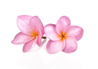 Pink plumeria flowers isolated on white background