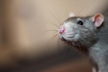 Portrait of domestic rat