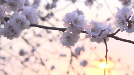 Klistermärke - Spring blossom over sunset sky. Beautiful nature scene with blooming sakura tree