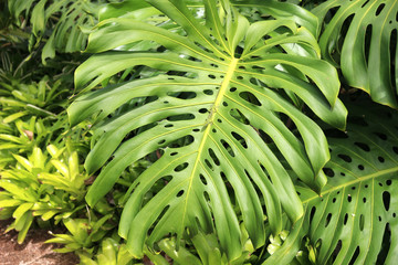 The lizard on a leaf of Monstera