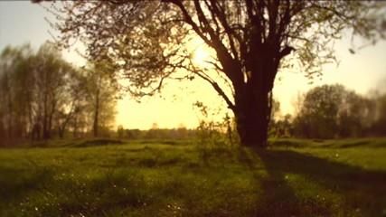 Fotoväggar - Nature sunset scene. Big old tree in golden sunlight in a forest or park. Field