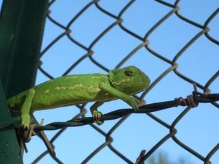 Foto auf Acrylglas Chamaleon Kameleon