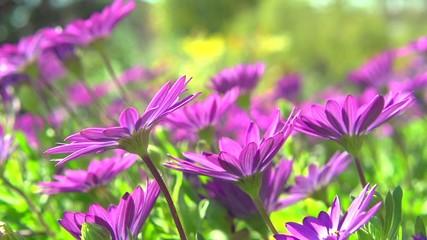 Fotoväggar - Pink daisy flowers blooming in a garden. Osteospermum