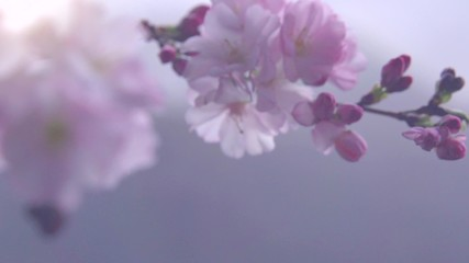 Fotoväggar - Sakura spring flowers. Beautiful nature scene with blooming sakura tree