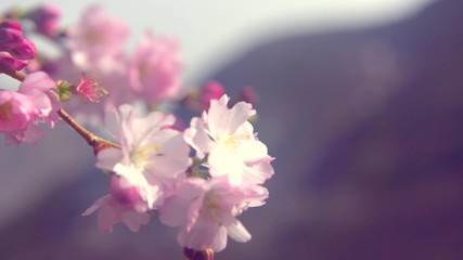 Fotoväggar - Spring blossom background. Beautiful nature scene with blooming sakura tree