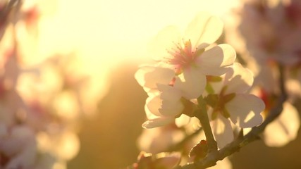 Affisch - Beautiful nature scene with blooming tree and sun flare. Sunny day.