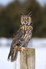 Long-eared owl sitting on fencepost