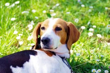 Hundemädchen liegt auf grüner Wiese