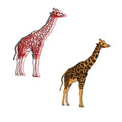 giraffes,illustration isolated on white