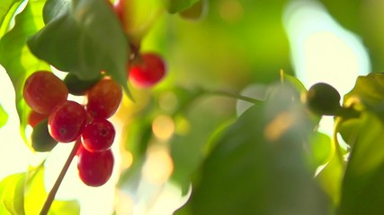 Fototapete - Coffee growing. Red beans hanging on a branch of coffee tree