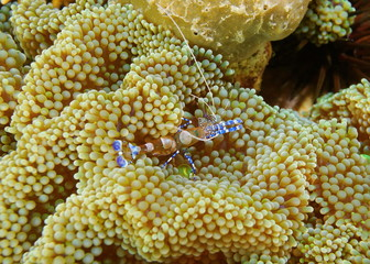 A spotted cleaner shrimp Periclimenes yucatanicus