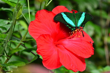 An Emerald Swallowtail butterfly lands on a red hibiscus flower in the gardens.