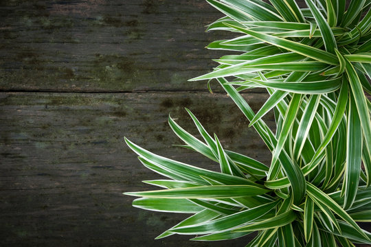Spider plant on old wood plank background