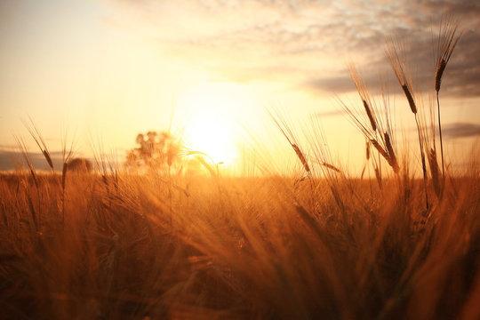 Sunset in Europe in a wheat field