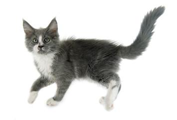 Fototapete - maine coon kitten