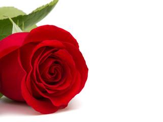 wunderschöne rote Rose mit Textfreiraum